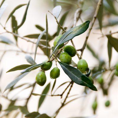 star first harvest olive oil